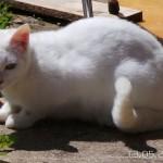 chat à adopter Isaya