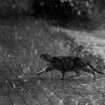blanc-noir-chat-pluie-big