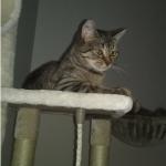chat à adopter Léon