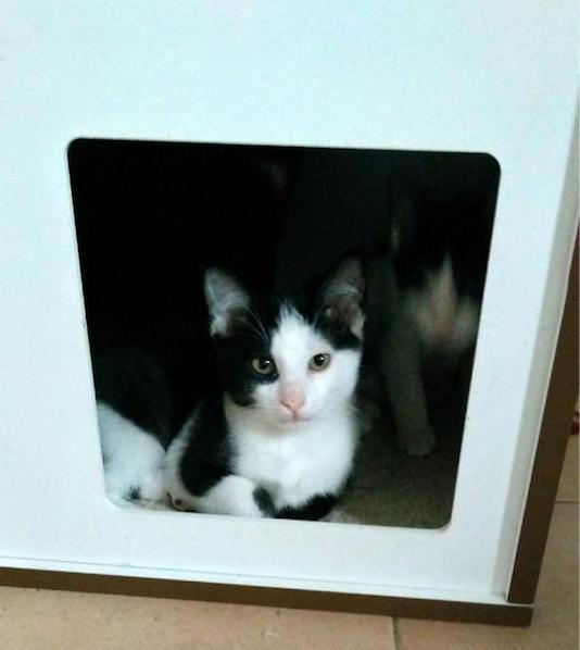 newton chat Nom : newton sexe : mâle age :  ma famille d'accueil dit que je suis un vrai chat-chien elle dit aussi que je suis sage, ne mord et ne griffe jamais.