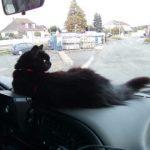 CEM chats perdus trouvés Chouchou