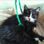 chat à adopter Oréo