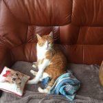 CEM chats perdus trouvés Tigrou