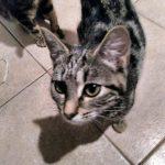 chat à adopter Orane