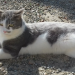 CEM chats perdus trouvés Smoky