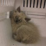 CEM chaton adoption Puma